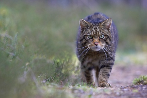 From http://www.highlandtiger.com/wildcat_facts.asp