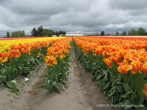 Skagit Valley Tulip Festival, La Conner, Washington, 2012. Views like this can be seen from Pleasant Ridge.