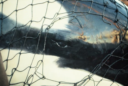 Lolita's (Tokitae's) capture in Penn Cove almost half a century ago