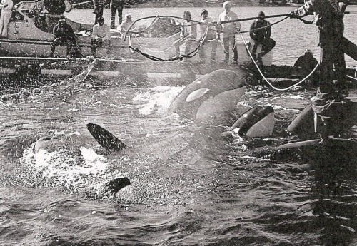 The Penn Cove Capture of Southern Resident Orcas, August 1970